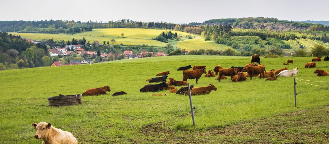 Cows on green pasture under cloudy sky - amazing spring landscape in Czech Republic, Europe